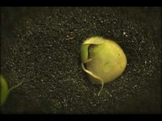 Seed timelapse  - Timelapse video of a seed growing done by Albert Sabaté and Paul Galvez.