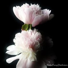 Two Marie Lemonie peonies. A light blush bloom, harvested in Alaska late July/early August and shipped nationwide! White Peonies, Peony, Alaska, Harvest, Wedding Flowers, Blush, Rose, Plants, Pink