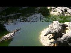 ▶ krokodillen - YouTube