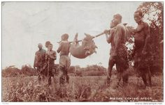 RP: Natives carry a pig on pole , Pig Hunt , Central Africa 1916