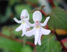 Rare and amazing Dancing Girl Orchids.