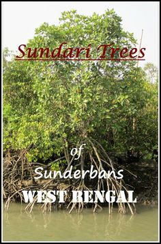 Sundari Trees of Sunderbans West Bengal, India. The mangrove jungles, a world heritage site.