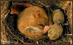 doormouse hibernates...with acorns.  Cuuuute!!