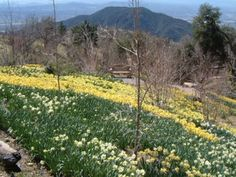 Daffodil Garden - over 1 million bulbs planted one at a time by one woman.  http://www.oocities.org/thedaffodilgarden/garden.htm