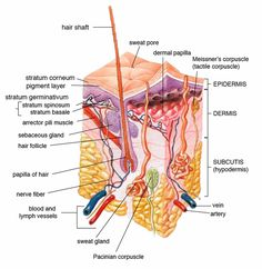 Dermal Papillae: in human skin; small, nipple-like extensions of the dermis into the epidermis; at the surface of the skin in hands and feet, they appear as epidermal or papillary ridges (fingerprints); blood vessels in dermal papillae nourish all hair follicles & bring nutrients & oxygen to lower layers of epidermal cells; uppermost layer of the dermis (papillary dermis)