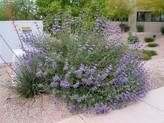 1. Hummingbird Mint: smells like bubblegum and, as its name suggests, attracts hummingbirds Photo from Schmoker 2. Cleveland Sage: very aromatic, can be dried and burned as incense Photo from ASU 3. Popcorn Cassia: can grow up to 7-10 feet, smells like popcorn... #desertclimate #dry #flowers