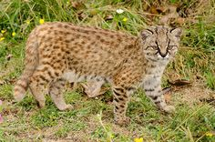 The Kodkod - Leopardus guigna -The smallest felid in the Americas Commonly known as Kodkod, Guiña, Chilean Cat, Guigna and Guina, Leopardus guigna (Felidae) is reputed to be the smallest species of...