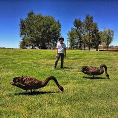 Black swans are a popular sight at Canberra's Commonwealth Park. Photo by Instagrammer yandhrie