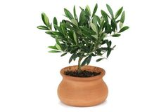 "10"" Olive Tree in Washpot, Live"