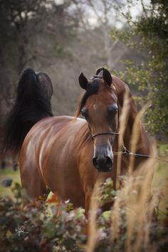 Bay Arabian mare named Owf Rihanna
