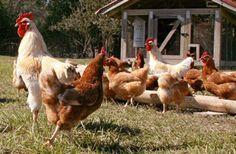 طرق الوقاية والأمان ضد أنفلونزا الطيور - mazra3ty | مزرعتي