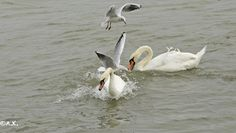 Donauinsel Swans, Pets, Photography, Animals, Photograph, Animales, Animaux, Fotografie, Photoshoot