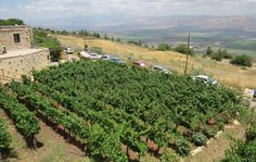 A view of the Hula Valley in the Upper Galilee which has over 60 boutique wineries. These are vines growing at the Naaman Winery in Ramot Naftali