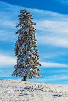 Fir in winter dress | ©Oliver Wehrli(Switzerland)
