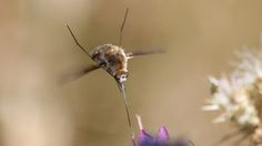 Gros bombyle by Maxime Raynal on 500px