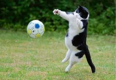 Cats are the best goalkeepers