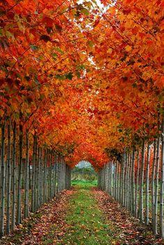 row of orange trees