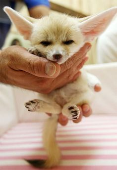 Baby fennec fox hasn' grown into his ears.