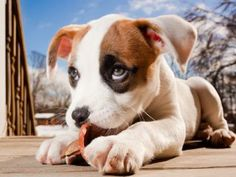 The ever new collection of pitbull puppy wide desktop new wallpapers