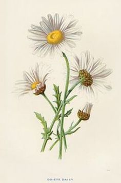 Vintage illustration daisy. Left flower