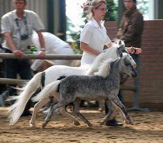 Silver Dapple Foals - Miniature Horse Forum - Lil Beginnings Miniature Horse Forums - Page 2 Miniature Horse Tack, Miniature Donkey, Falabella Horse, Baby Horses, Wild Horses, Draft Horses, All The Pretty Horses, Beautiful Horses, Animals Beautiful