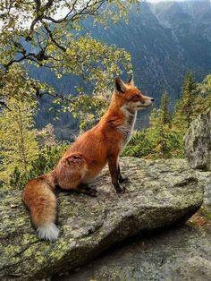 237 Fantastiche Immagini Su Volpe Rossa Foxes Red Fox E Wild Animals