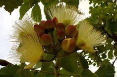 Flores de Pequi. Já estão começando a surgir os primeiros brotos da fruta típica do Cerrado Brasileiro. Fotografia de Arnaldo Silva