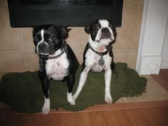 My Boston Terriers