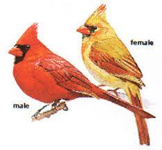 Image result for female cardinal