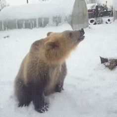 Bear Gets Snowed