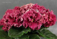 Repost fialkovod    АВ-Красная Гвоздика. Очень нарядный, парадный цветок! ........ #красивыецветы #узамбарскаяфиалка #узамбарскиефиалки #сенполии #сортовыефиалки #продаюфиалки #люблюцветы #senpolia #blooms #myflower