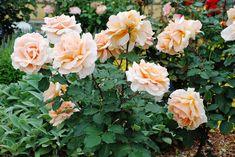 gardenia jasminoides giftig