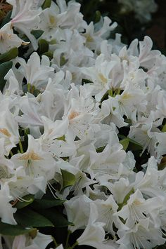 Cunningham's White Rhododendron (Rhododendron 'Cunningham's White') at Plant World