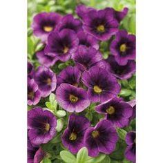 Superbells Grape Punch (Calibrachoa) Live Plant, Purple Flowers, in. Garden Pictures, Flower Pictures, Types Of Flowers, Purple Flowers, Real Flowers, Flowers Perennials, Planting Flowers, Flower Catalogs, Buy Plants Online