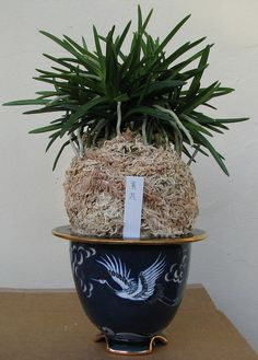 Neofinetia falcata 'Kibana' | Flickr - Photo Sharing!
