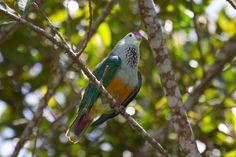 Ptilinopus pelewensis - Cerca con Google
