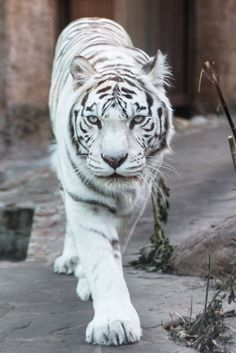 White tiger by Anton Brylev Animals And Pets, Baby Animals, Cute Animals, Wild Animals, Big Cats, Cool Cats, Wildlife Photography, Animal Photography, Beautiful Creatures