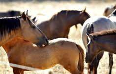 """""""These #horses are no different than the grizzly bear, the mountain lion and the wolf -- they're our heritage,"""" said Hayden."""