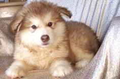 red husky puppy | Cute Puppies