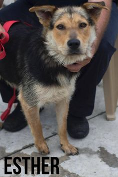 **Adopted!!♡**Rescue Me Ohio POUND IS FULL THEY NEED YOUR HELP ***ESTHER***Shepherd Mix Stark County Dog Warden  Canton, Ohio ~LD~  Beautiful and unusual looking all in the same package. Sweet babe looking for a home...a good home. One that will take care of her. Feed her. Love her and make her feel safe.  https://www.petfinder.com/petdetail/29511767/
