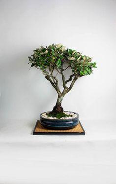 "Mature Japanese Elaeagnus bonsai bonsai tree ""Summer'16 exotics collection"" by LiveBonsaiTree by LiveBonsaiTree on Etsy"