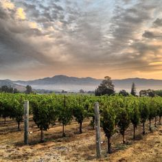 Our Yountville Vineyard in the Oak Knoll District. #napaharvest