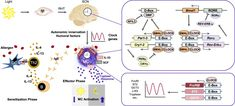 The Circadian Clock Drives Mast Cell Functions in Allergic Reactions Mast Cell Activation Syndrome, Allergic Rhinitis, Gene Expression, Adrenal Glands, Cortisol, Invisible Illness, Allergies, Activities, Clock
