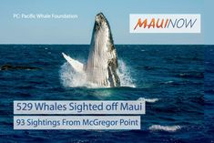 Maui Now: 529 Whales Sighted off Maui During Great Whale Count 2018 Now in its 30th year on Maui, the Great Whale Count once again demonstrated the power of citizen-science as over 100 volunteers worked with Pacific Whale Foundation researchers on Saturday, Feb. 24, 2018 to record whale sightings from Maui's shore. In total, they recorded 529 humpback whales, including 335 pods (or groups of whales), and 62 calves.  The sites with the highest number of whales were McGregor Point, with 93…