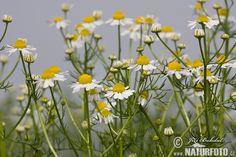 Heřmánek pravý. Plants, Ideas, Plant, Thoughts, Planets