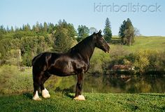 Black Clysdale Horse- one day one of these will be mine