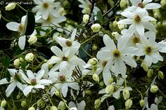 Signs of Spring: Clematis Amazing Gardens, Beautiful Gardens, Clematis Paniculata, September Equinox, White Clematis, Blue Cafe, Spring Sign, White Gardens, Christmas Paintings