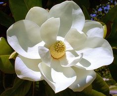 Magnolia flower-my ULTIMATE fave flower and it smells just beautiful! Def reminds me of home-wish they would grow in Denver