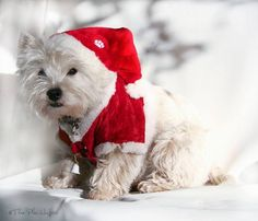 .Westies never stop thinking how to get their ways!