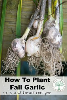 Fifteen Gardening Recommendations On How To Get A Great Backyard Garden Devoid Of Too Much Time Expended On Gardening How To Plant Fall Garlic The Homesteading Hippy Growing Herbs, Growing Vegetables, Regrow Vegetables, Growing Greens, Organic Gardening, Gardening Tips, Vegetable Gardening, Container Gardening, Desert Gardening